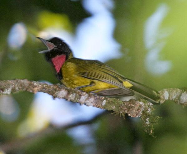 Foto Burung Samyong Terbaik