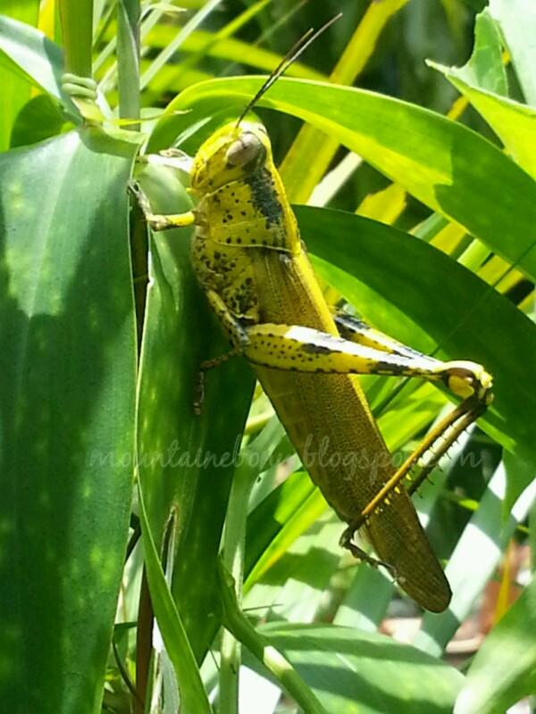 suka suka belalang kunyit