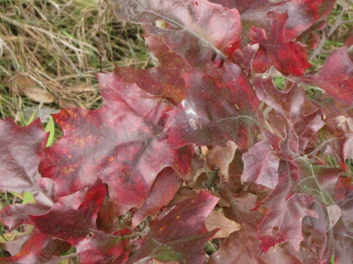 red oak leaves in fall