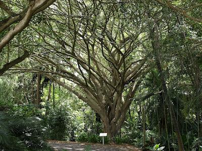 Plantas de interior - Árvore de F. benjamina