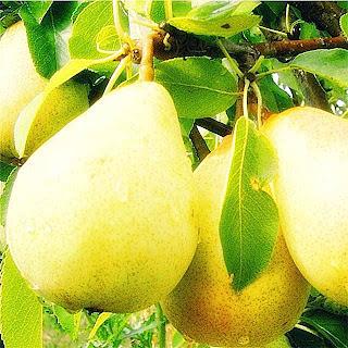 Khasiat Buah Pear