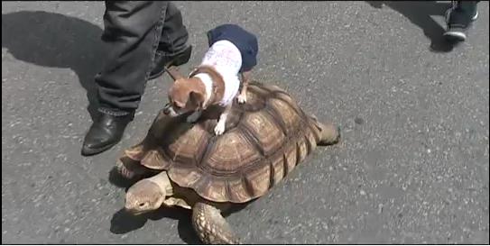 Chihuahua tortue