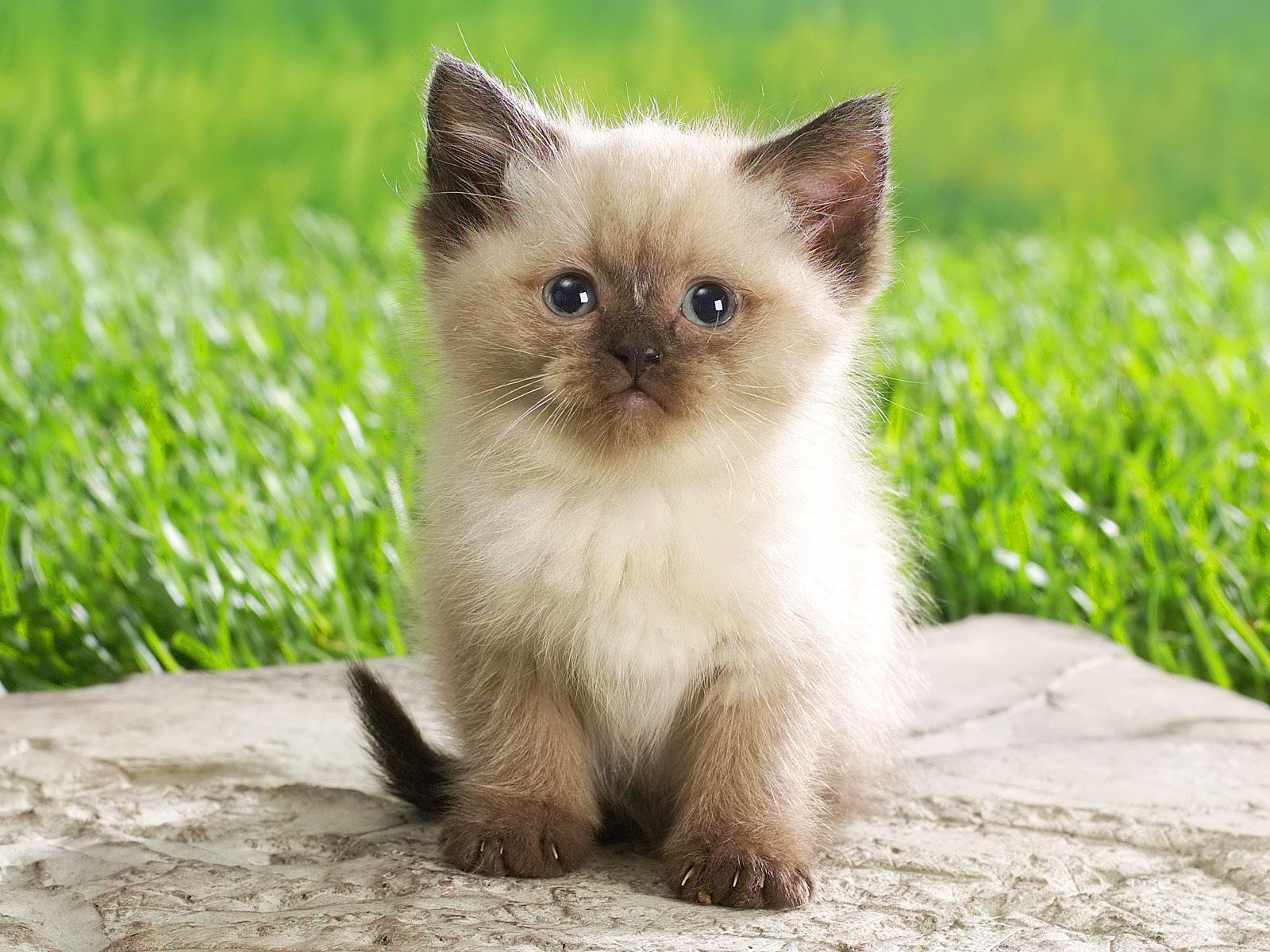 download gambar kucing lucu - gambar kucing