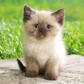 Gambar Kucing Persia @ Digaleri.com
