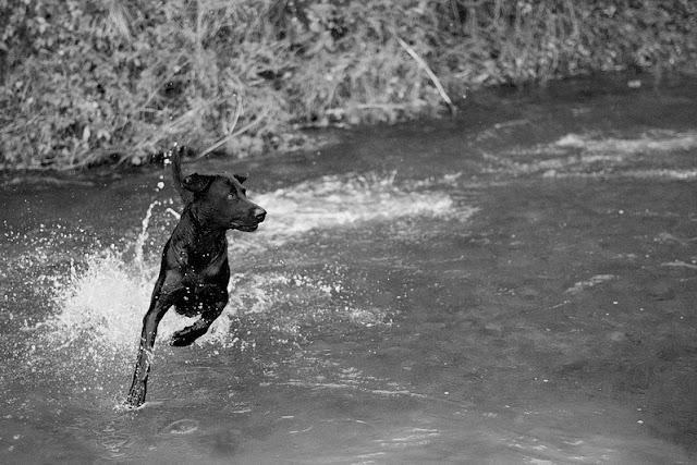 Perro corriendo en el agua en blanco y negro
