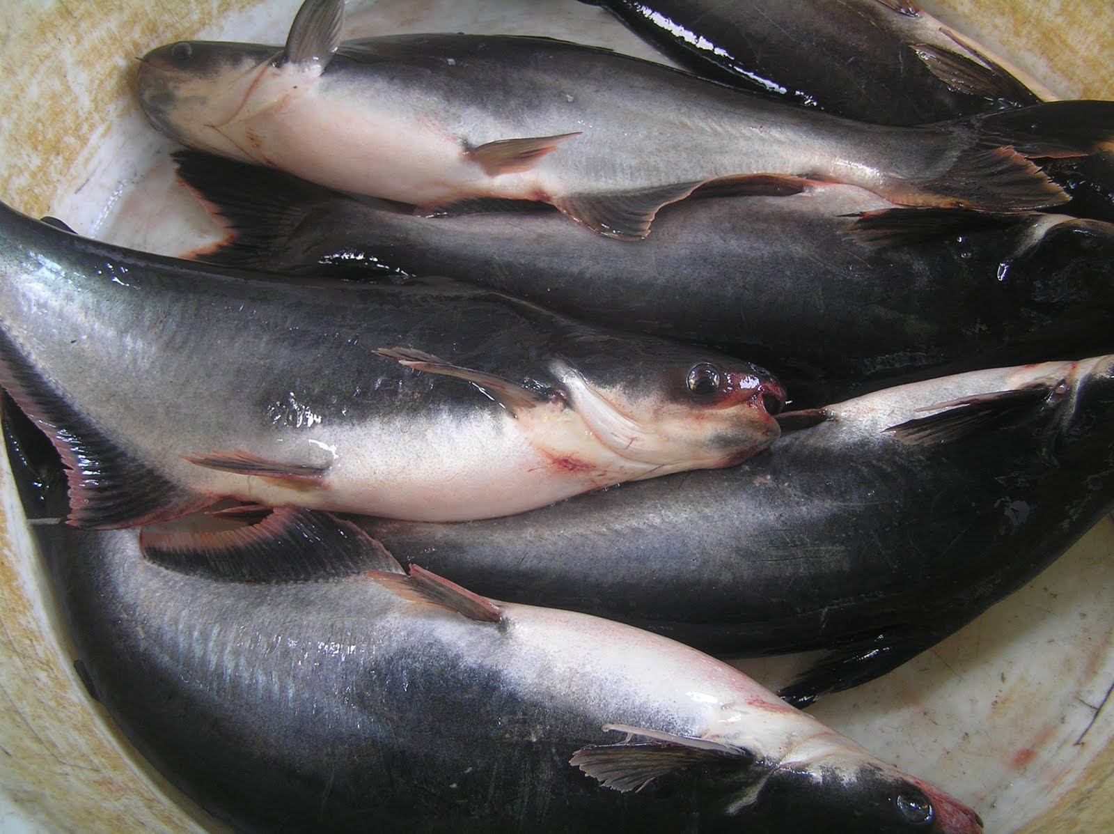 Albay businessline albay fish pond owners conduct for What is pangasius fish