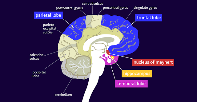 areas of the brain