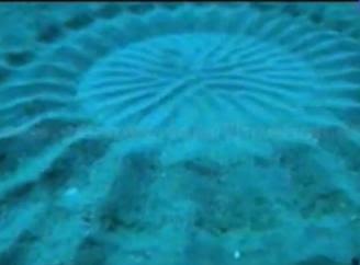 Ikan buntal Ikan pembuat Crop Circle
