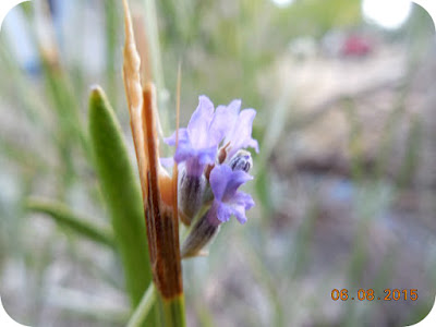Floare de lavanda