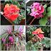 Trancaneli: O buruiana printre flori