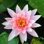 Pesquisas sobre a flor de lótus