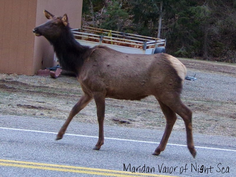 Elk on the loose pictures; Elk with dancing feet wandering around this morning. See more on the blog.