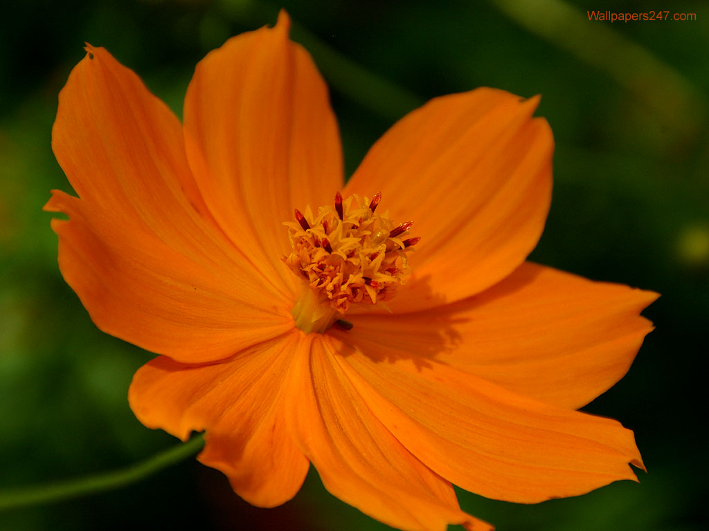 Flowers Wallpapers: Orange Flowers Wallpapers