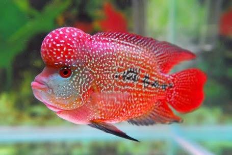 Cara Memelihara Ikan Louhan