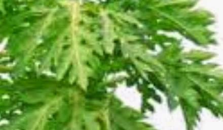 Papaya Leaf vegetables