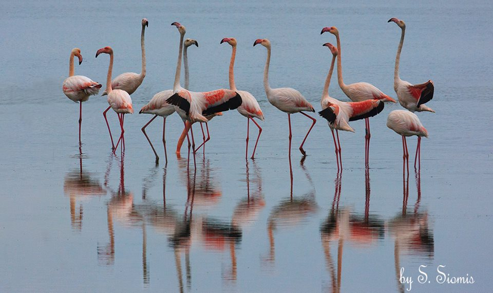 Φλαμίνγκος - Τα πουλιά της αγάπης