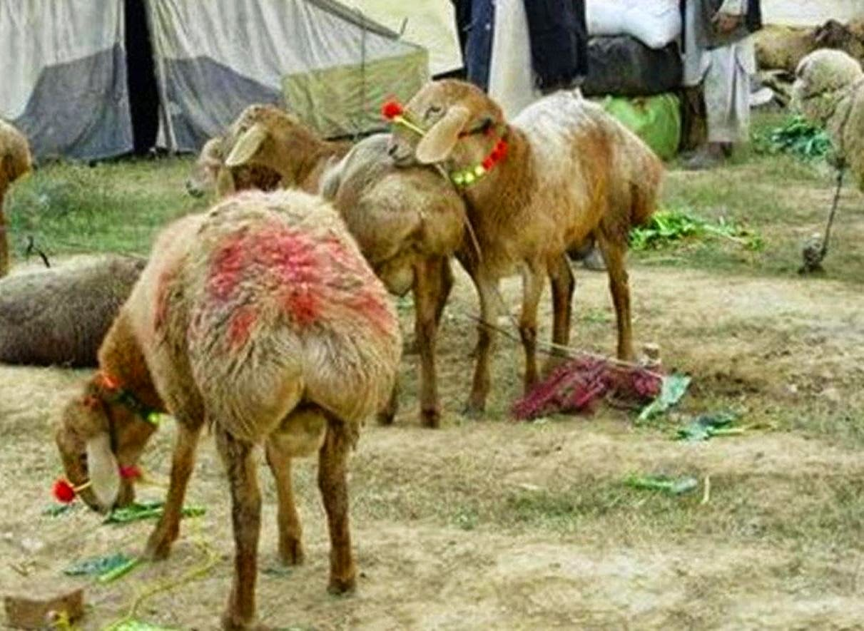 qurbani sheep - photo #32