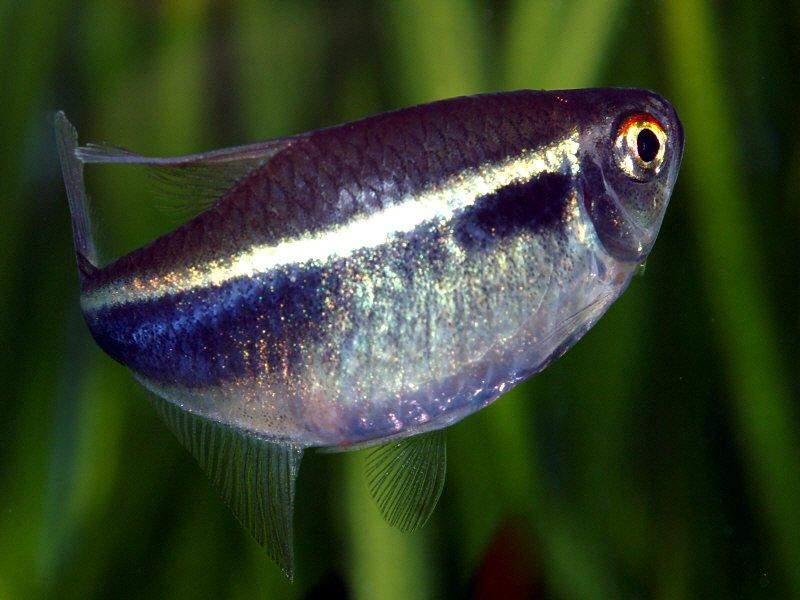 Amazing fresh water fish neon tetra for Types of tetra fish