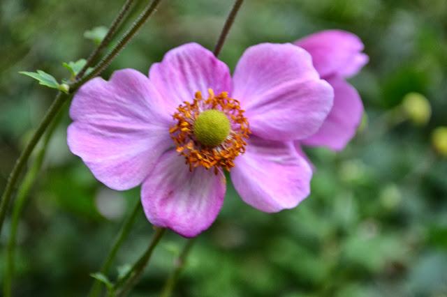 Japanese anemone, http://growingdays.blogspot.com
