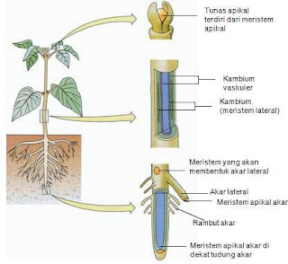 Jaringan pada Tumbuhan Struktur dan Fungsinya