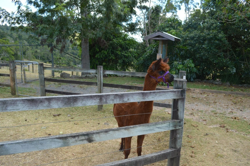 Clueless bercuti di gold coast australia alpaca farm for Alpaca view farm cuisine