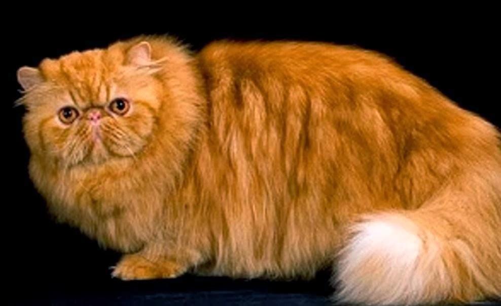 Siapa yang tak kenal kucing persia. Kucing mahal ini memang sering ...