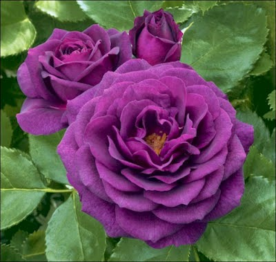 hình ảnh Hoa hồng màu tím tình yêu thủy chung