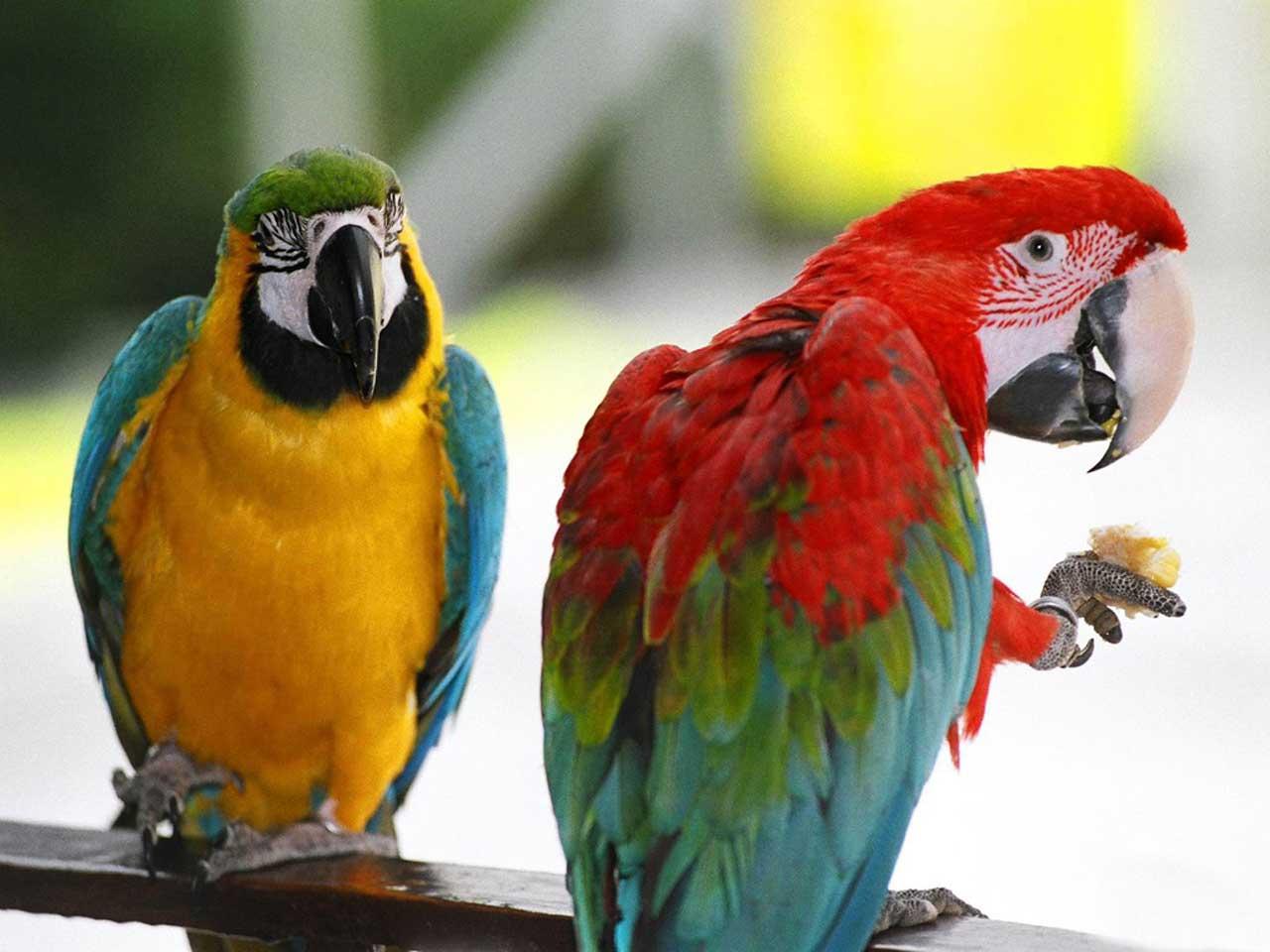 http://2.bp.blogspot.com/-MNkN1y-UVJs/Tkkzf3NZC8I/AAAAAAAAAAo/Z1ejFVTn7v4/s1600/australian-parrots-pair-wallpaper.jpg