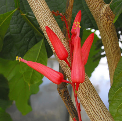 Quassia (Picrasma Excelsa) Overview, Health Benefits, Side effects