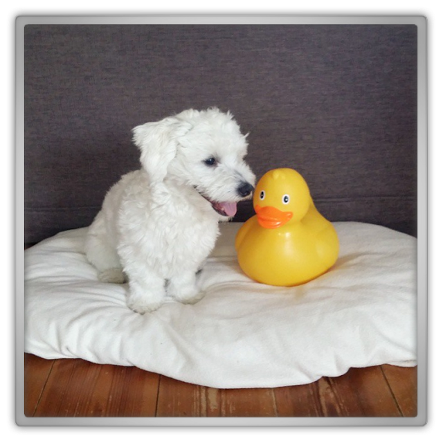 xenos badeend xxl mega huge rubber duck jofee maltese dog puppy 9 months cute adorable pet white bff friend.png
