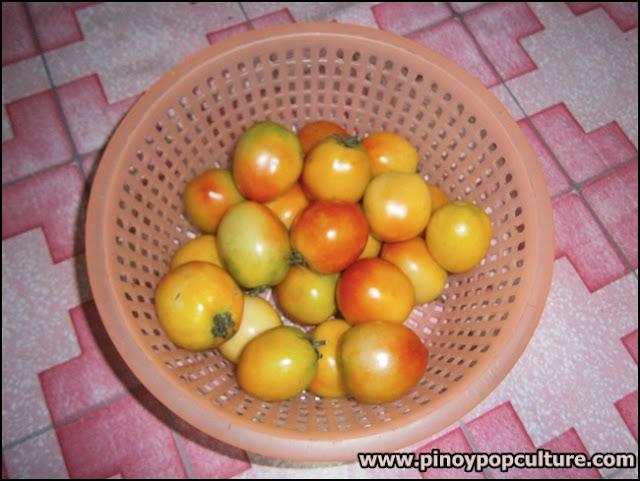 Bahay-Kubo, kamatis, tomatoes, Solanum lycopersicum, Lycopersicum esculentum