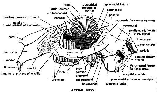 Diagram Of Rabbit Skull Information Of Wiring Diagram