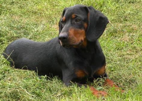 Image For Black Tanhound Rescue