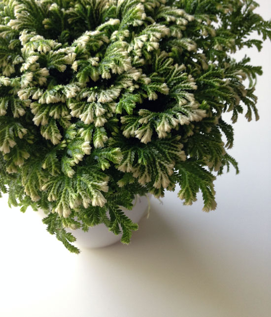 The Rainforest Garden How To Care For Frosty Ferns