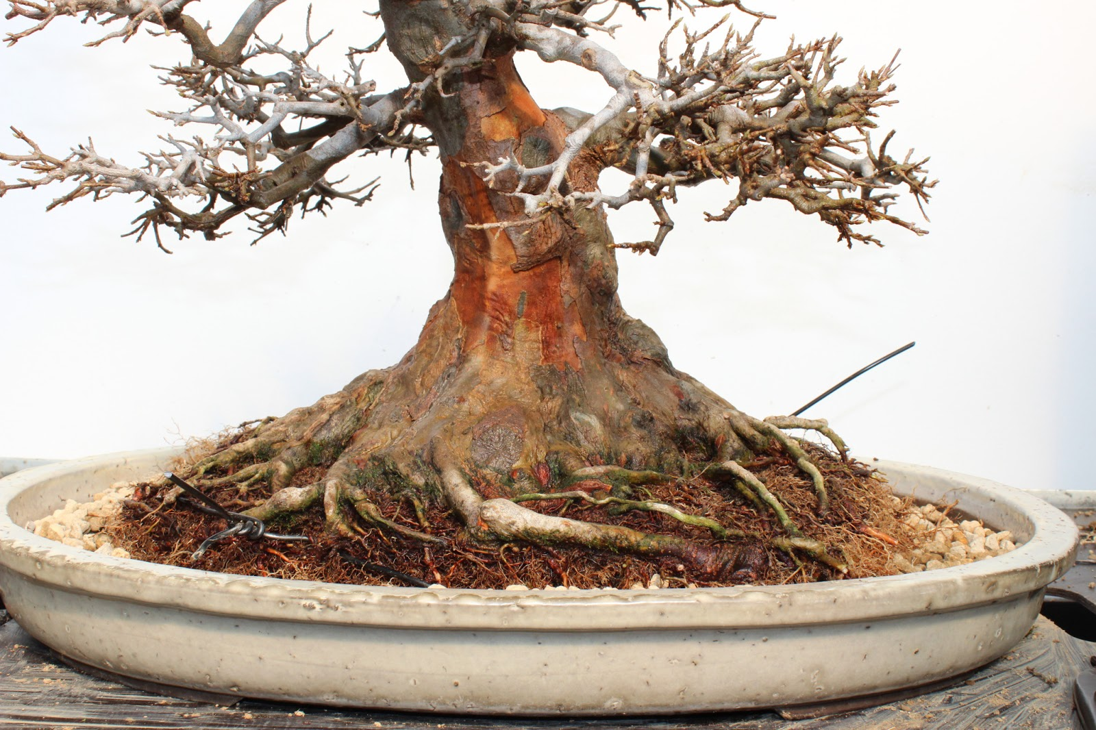 Bonsai Blog Of Sndor Papp KAEDE REPOTTING