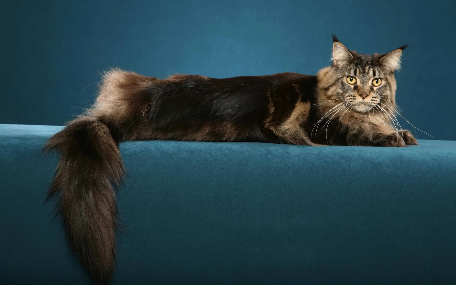 Maine Coon Cat Information: August 2013