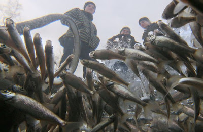 Russia's Fish Fight For Oxygen In St. Petersburg Ponds Seen On   www.coolpicturegallery.us
