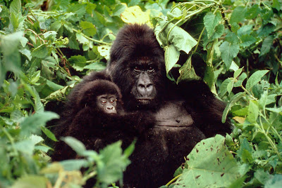 Endangered_Gorillas