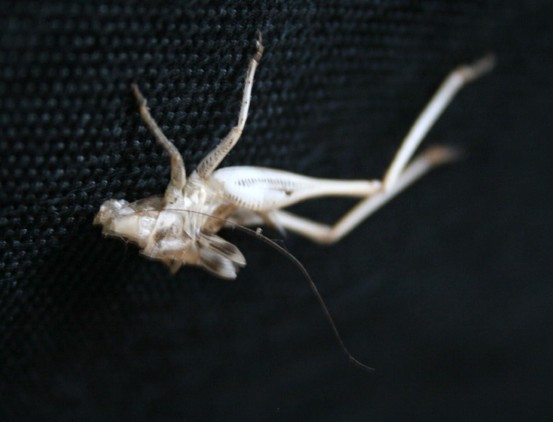 A grasshopper's shed skin
