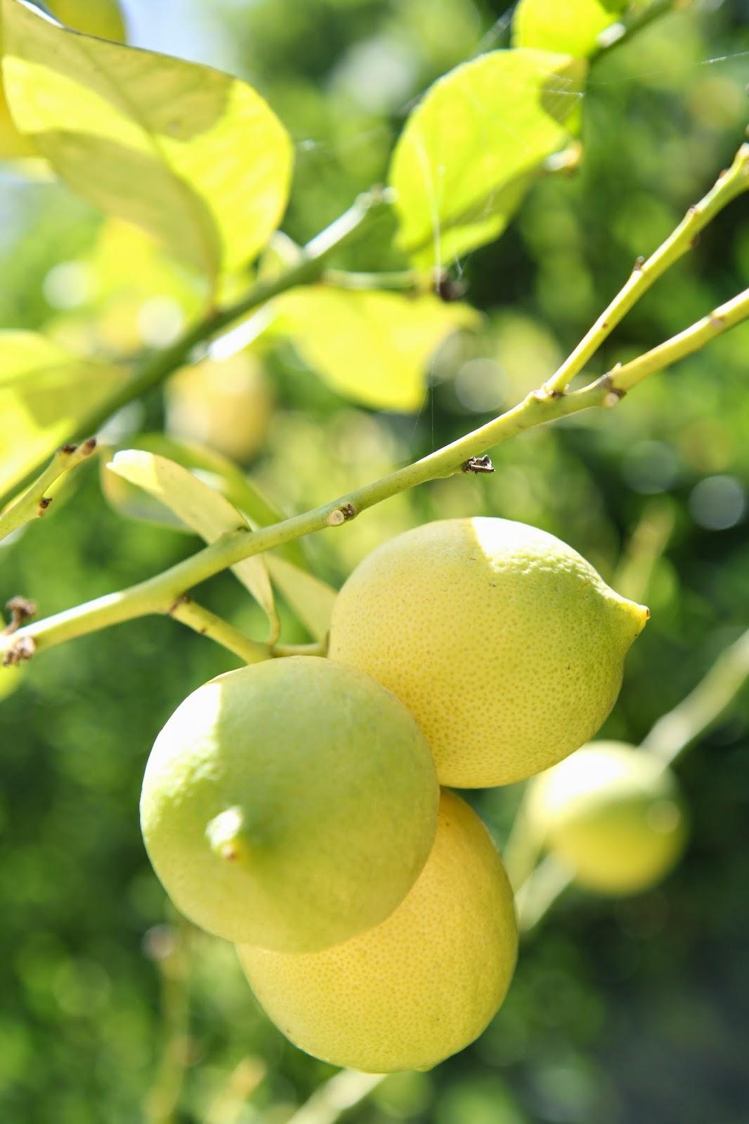 Lemons: Simple Summer Fruit Bowl; Nora's Nest