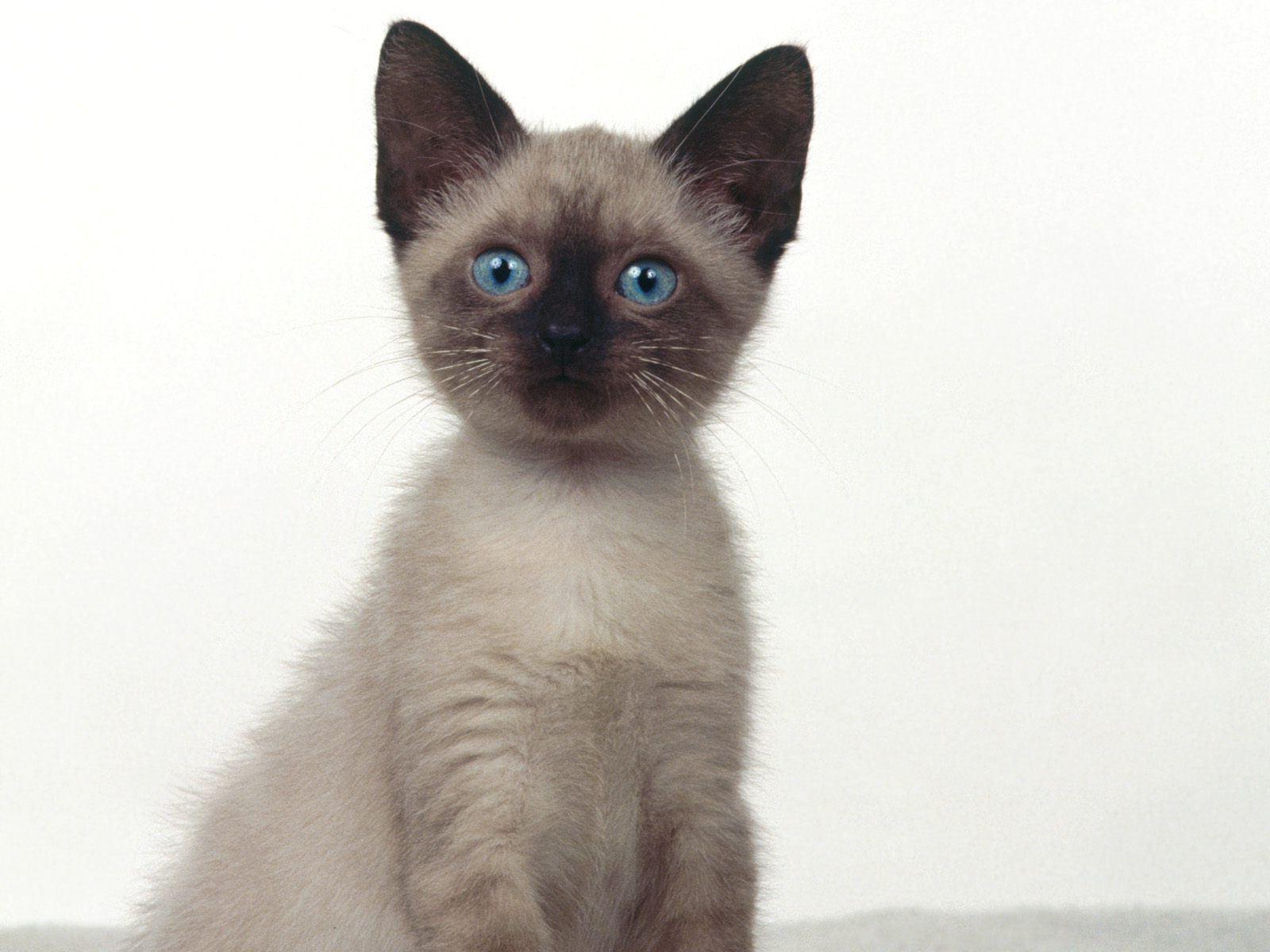 siamese cats wallpaper 3 - photo #1