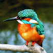 Kingfishers Photos, Images And Information!