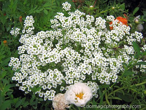 Sweet Alyssum - Lobularia maritima