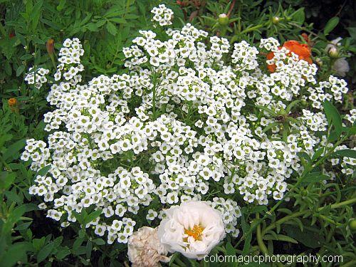 Sweet Alyssum - Lobularia maritima