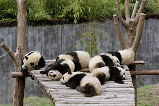 Panda Bears Sleeping HD Wallpaper
