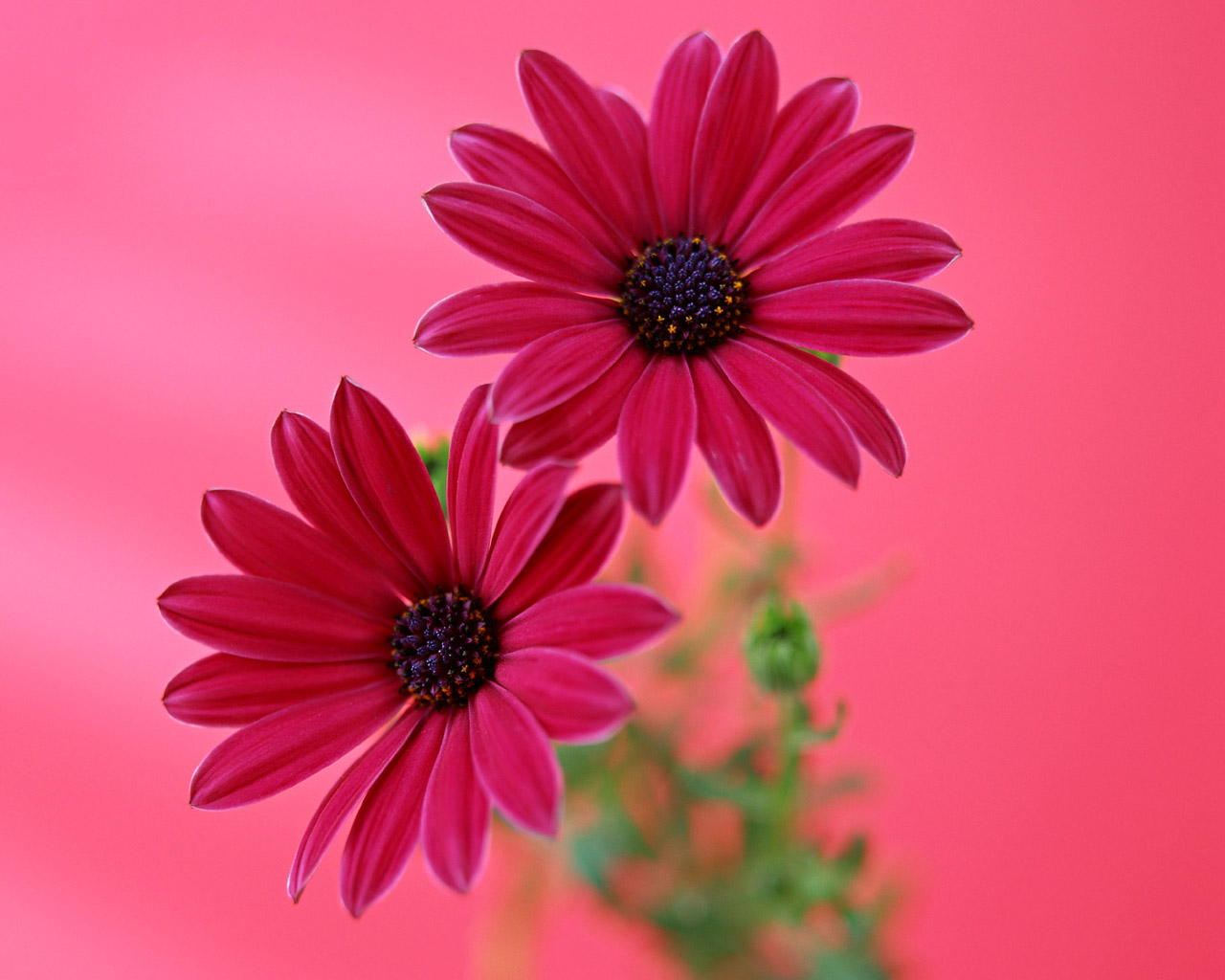 Beauty Flower Gerbera Daisy Flower