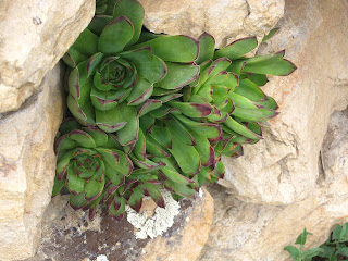 common houseleek, Sempervivum tectorum