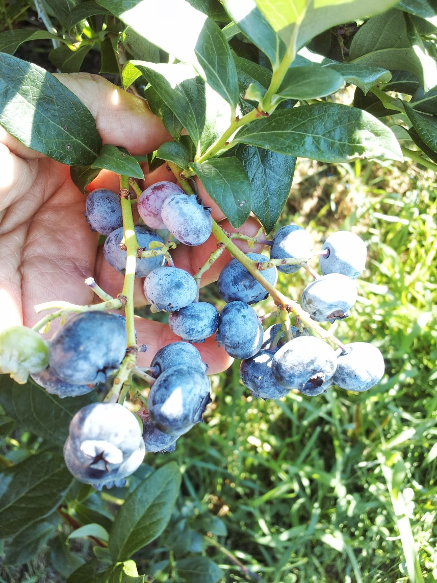 blueberries attached to the bush