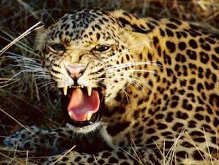 Leopardo rugiendo