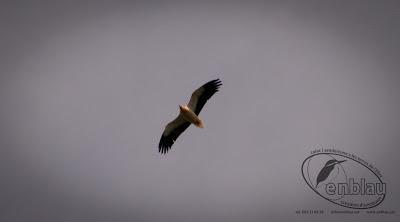 Un aufrany volant per la Picossa